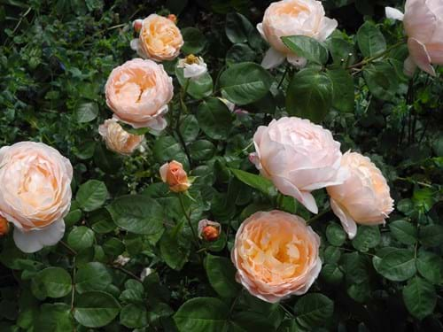 Landscape design Melbourne | Sandra McMahon Gardenscape Design | The David Austin rose 'Tamora'.