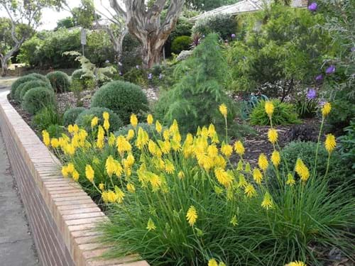 Garden Designers Melbourne | Sandra McMahon Gardenscape design | Little Kniphofias come back each year in ever-increasing numbers.